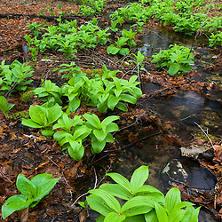 False Hellebore, Veratrum viride, next to a small stream in Devil's Hopyard State Park in East Haddam, CT.  Tributary of Eight Mile River.