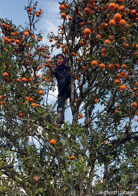 A boy picking oranges while we arrived at Sisen village.