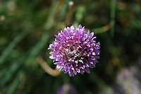 Chive Plant with purple flower