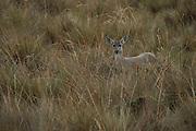 White-tailed deer (Odocoileus virginianus)<br /> Cayambe Coca Ecological Reserve<br /> Andes<br /> ECUADOR, South America