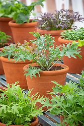 The winter salad leaf collection in a glasshouse at West Dean including Kale, mustard and mizuna