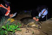 U. Queensland grad student Jannie Bech Sperling measures carapace of Australian flatback sea turtle, Natator depressus, Curtis Island, Queensland, Australia