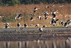 29.06.2010, Jastrebarsko, CRO, Crna Mlaka Vogelschutzgebiet, im Bild Gänse // Geese taking off from the ponds Jastrebarsko, Croatia on 2010/06/29. EXPA Pictures © 2016, PhotoCredit: EXPA/ Pixsell/ Goran Safarek/HaloPix<br /> <br /> *****ATTENTION - for AUT, SLO, SUI, SWE, ITA, FRA only*****