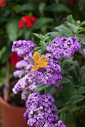 Silver washed fritillary butterfly - Argynnis paphia - on Heliotropium arborescens 'Marine'. Heliotrope