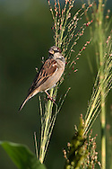 House Sparrow, Passer domesticus, Resting On A Stem