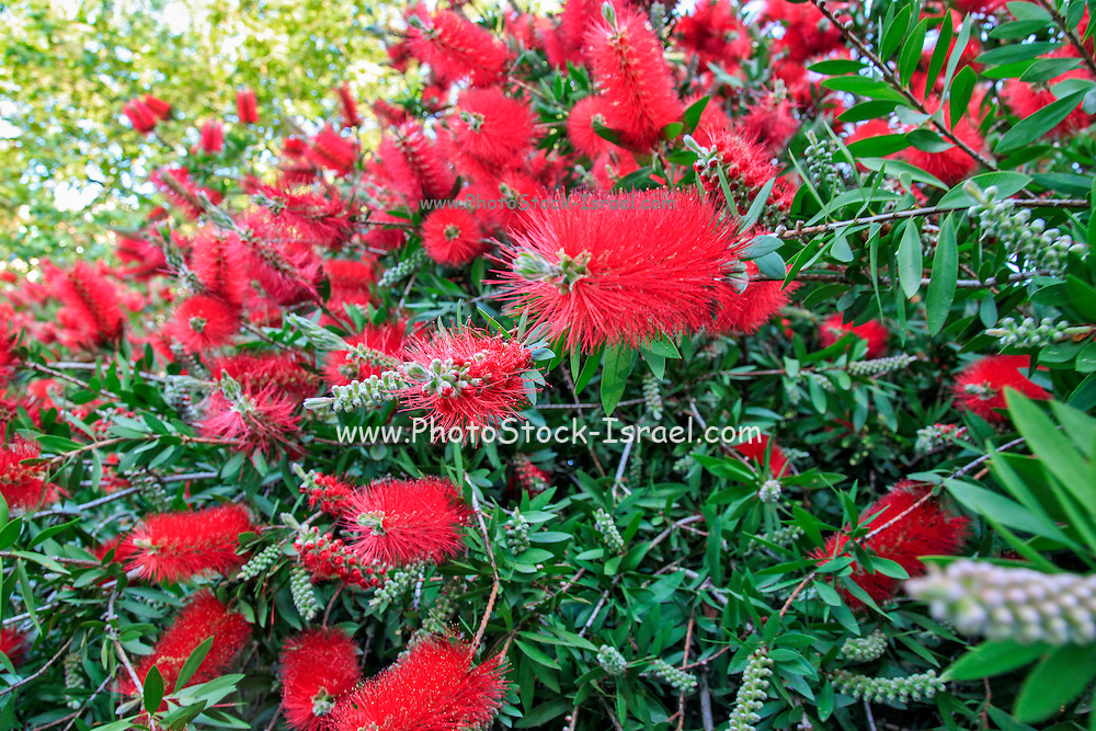 Callistemon citrinus, also known as Crimson Bottlebrush, is a shrub in the family Myrtaceae. It is native to south-eastern Australia.