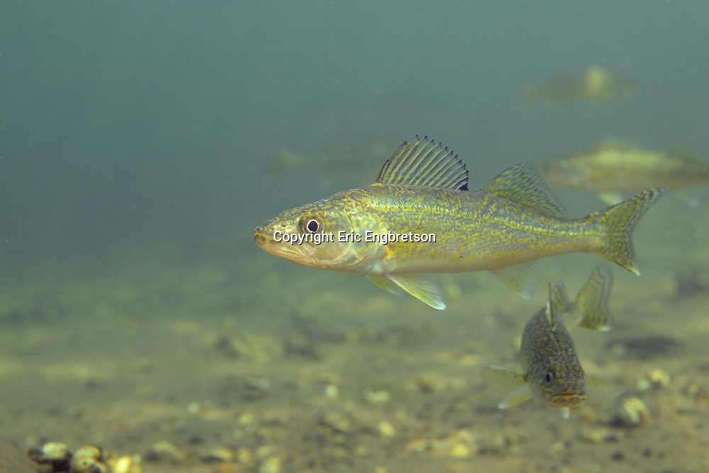 Young Walleye (Yearling)<br /> <br /> Engbretson Underwater Photography