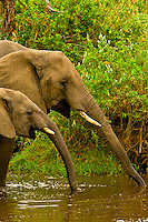 A herd of African Elephants at a watering hole, Serengeti National Park, Tanzania