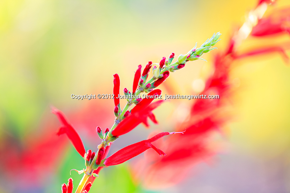 Red blooms on the branches of a flowering plant. WATERMARKS WILL NOT APPEAR ON PRINTS OR LICENSED IMAGES.
