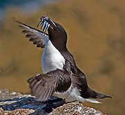 Razorbill standing on a guano covered rock with wings open and carrying sand eels in its mouth, Lundy island, U.K.