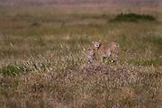 Two cheetahs, siblings, Serengeti National Park, Tanzania.