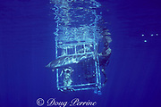 Galapagos shark, Carcharhinus galapagensis, swims in front of shark cage, off Haleiwa, North Shore, Oahu, Hawaii, USA ( Central Pacific Ocean )