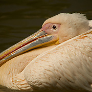 Portrait of a pelican relaxing in the pond.