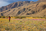 A visitor enjoying the wildflowers in Coyote Canyon including Desert Gold (Geraea canescens) Anza-Borrego Desert State Park, California.  (model released)