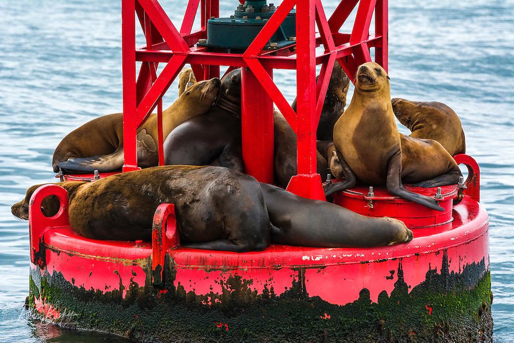 California sea lions on buoy, Ventura Harbor, Ventura, California USA
