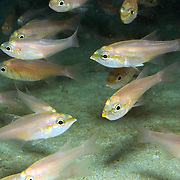 Bigtooth Cardinalfish hide in caves and recesses during day in deep reefs and rocky outcroppings Tropical West Atlantic; picture taken Bequia, Grenadines.