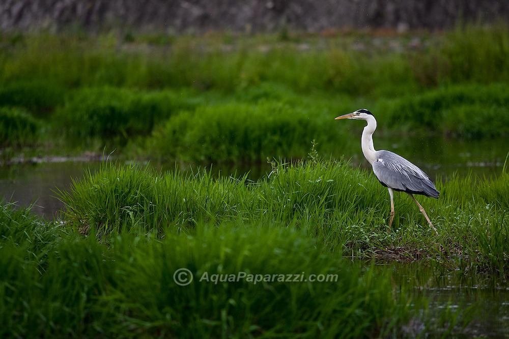 Asian Grey Heron hunting the marsh on the banks of the Kamo-gawa river.