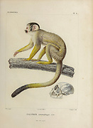 Calitrix entomophagus » = Saimiri boliviensis (Black-capped squirrel monkey) hand coloured sketched From the book 'Voyage dans l'Amérique Méridionale' [Journey to South America: (Brazil, the eastern republic of Uruguay, the Argentine Republic, Patagonia, the republic of Chile, the republic of Bolivia, the republic of Peru), executed during the years 1826 - 1833] 4th volume By: Orbigny, Alcide Dessalines d', d'Orbigny, 1802-1857; Montagne, Jean François Camille, 1784-1866; Martius, Karl Friedrich Philipp von, 1794-1868 Published Paris :Chez Pitois-Levrault et c.e ... ;1835-1847
