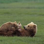 Alaskan Brown Bear, (Ursus middendorffi) Mother nursing two cubs. Alaskan Peninsula.