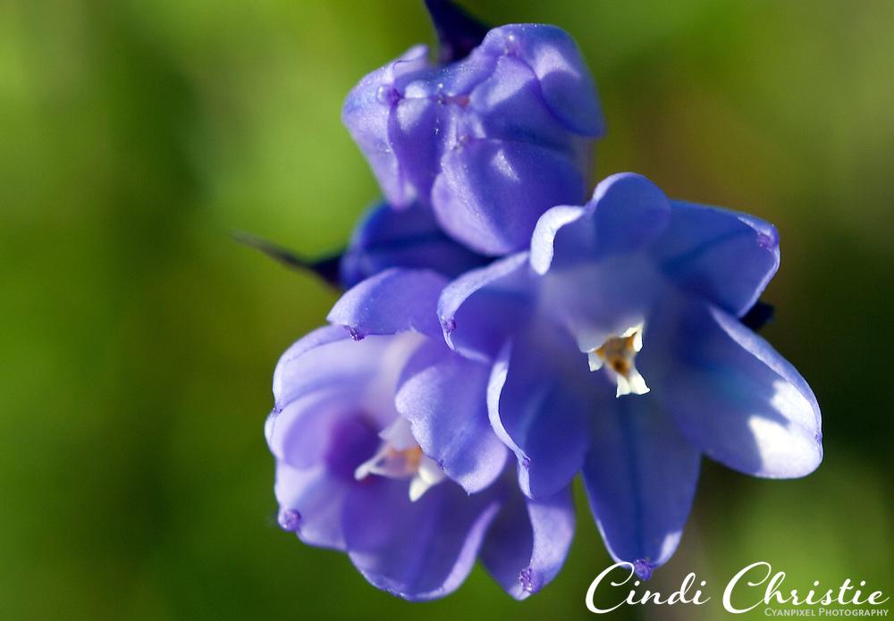 Blue dicks  (Dichelostemma capitatum) grow in Livermore, Calif., on Friday, March 26, 2010. (Cindi Christie).