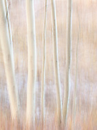 High Key abstract aspen forest along the road to Owl Creek Pass, Uncompahgre National Forest, Colorado, USA
