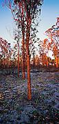 Regrowth after Bush Fires, Lake Macquarie, NSW, East Coast Australia