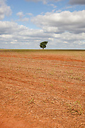One 1 solitary tree standing in a cropped sugarcane field. Brazil is the largest producer of Sugar and Beef, then second for Soya and third for Maize. Many of the farms are in the state of Mato Grosso and Mato Grosso do Sul, they are often enournmous, stretching for miles kilometres. A lot of the crops are processed on site and kept in large warehouses or silos.