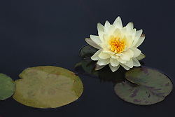 Water Lily, yellow, #9