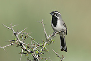 Black-throated Sparrow - Amphispiza bilineata