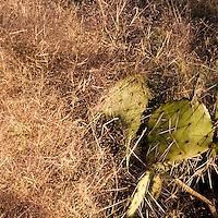 Saguaro National Park, Tucson. Prickly Pear plant