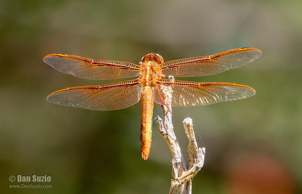 A Flame Skimmer dragonfly, Libellula saturata, perches on a branch in the Desert Botanical Garden, Phoenix, Arizona