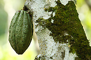 Cocoa pod on a cocoa plantation near the village of Soumaorodougou, Bas-Sassandra region, Cote d'Ivoire on Saturday March 3, 2012.
