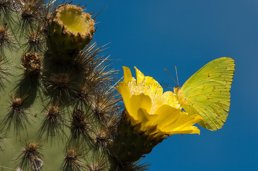 Galapagos Sulphur Butterfly (Phoebis sennae marcellina) feeding on Opuntia cactus flower<br /> Alcedo Volcano, Isabela Island. GALAPAGOS ISLANDS<br /> ECUADOR.  South America<br /> This is the only yellow butterfly in the islands. It is a sub-species of a species that occurs throughout the western hemisphere.