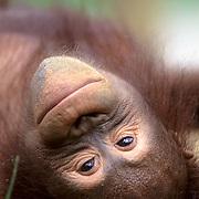 Orangutan, (Pongo pygmaeus) Portrait of juvenile resting. Northern Borneo. Malaysia. Controlled Conditons.