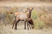 Calf elk in autumn Elk calves in early autumn