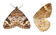 70.097 (1763)<br /> Common Marbled Carpet - Chloroclysta truncata<br /> Arran Carpet
