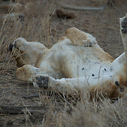 African Lion, Timbavati Private Game Reserve, South Afirca.