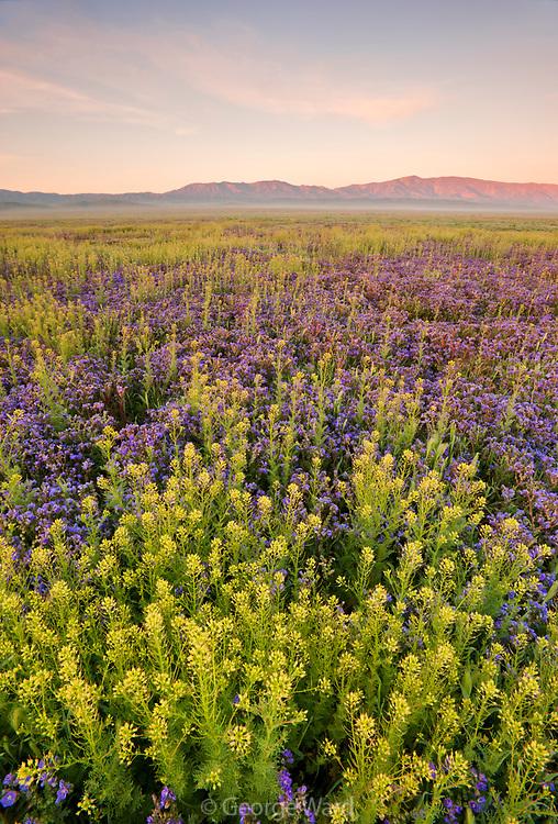 Phacelia and Peppergrass at Sunrise,Carrizo Plain National Monument, California