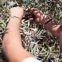 Volunteers from the Lutheran Vocation Training Centre harvest olives on the Mount of Olives in East Jerusalem.
