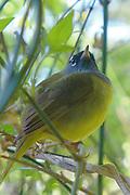 macgillivrays warbler bird yellow