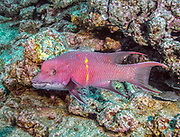 Hogfish, Revillagigedo (Socorro), MX