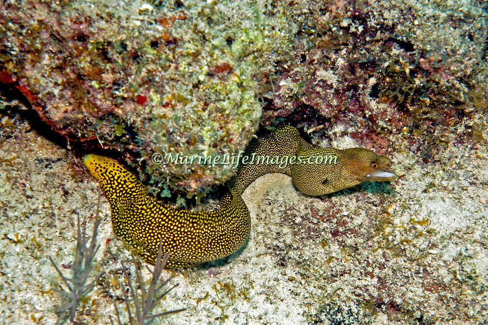 Goldentail Moray inhabit shallow to mid-range reefs, hide during day in recesses often extending head from openings, in Tropical West Atlantic; picture taken Key Largo, FL.