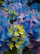 blue-yellow hydrangea florets