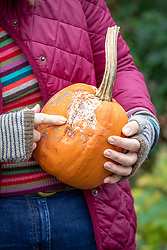 Checking for rot before storing vegetable over winter. Holding a pumpkin that has started to rot. Testing with finger.