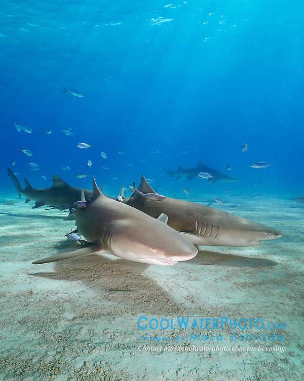 lemon sharks, Negaprion brevirostris, Grand Bahama, Bahamas, Caribbean Sea, Atlantic Ocean