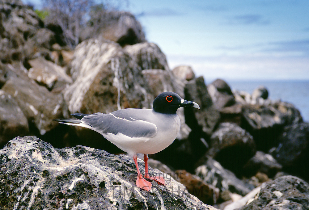 Swallow-tailed gull perched rocks, Galapagos Islands, Ecuador