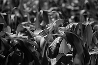 Black and white corn Leaves.