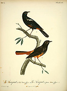 Traquet à queue striée and Traquet à cul roux from the Book Histoire naturelle des oiseaux d'Afrique [Natural History of birds of Africa] Volume 4, by Le Vaillant, Francois, 1753-1824; Publish in Paris by Chez J.J. Fuchs, libraire 1805