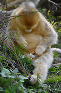 Male Golden Snub-nosed Monkey, Rhinopithecus roxellana, playing with his genitals in Foping Nature Reserve, Shaanxi, China