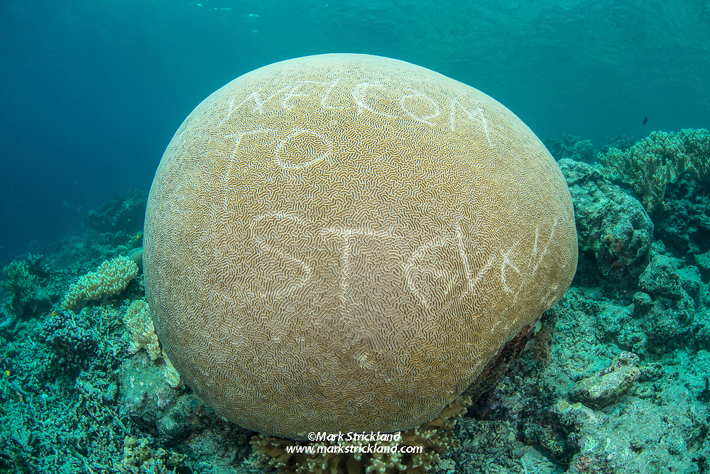 An otherwise pristine Brain Coral, damaged by someone scratching graffiti into its delicate tissues. Raja Ampat, West Papua, Indonesia, indian Ocean